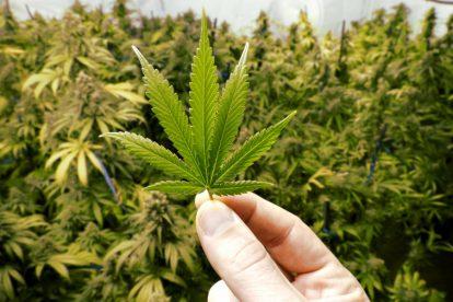 foglia di cannabis in mano