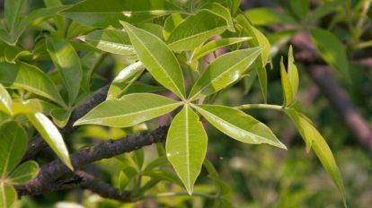 foglie di baobab